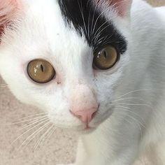どアップヨンくんです📸お洗濯物を干してるといつも側に来てスリスリ〜❤️としてくれるかわい子ちゃんです❣️ #ねこ#猫#ネコ#にゃんこ#ニャンコ#愛猫#しろくろぶち猫#ねこのおとこのこ#ねこすたぐらむ#ねこすた#きゃっとすたぐらむ#ねこすた