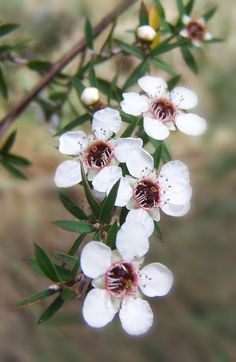 Manuka Tree Blossoms in fern/bush more pinkie flowers Australian Native Flowers, Australian Plants, Australian Garden, Manuka Tree, Manuka Essential Oil, Manuka Honey, Manuka Oil, Photo Portrait, New Zealand
