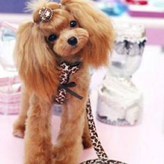 This apricot poodle! Dog Grooming Styles, Poodle Grooming, Pet Grooming, Poodle Cuts, Poodle Mix, Cute Puppies, Cute Dogs, Poodle Haircut, Red Poodles