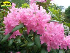 Rhododendron English Roseum, Rödrosa blomning. Höjd: 1-2 m.