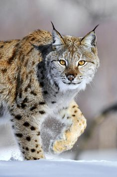 eurasian-lynx-walking-jasper-doest.jpg (595×900)
