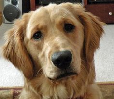 Gorgeous golden retriever look at that face it's just so lovable ♥