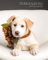 BUTTERSCOTCH is an adoptable Labrador Retriever Dog in McKinney, TX. We do not have a facility to house the dogs in our program. They are all kept in foster homes until they are adopted. Therefore, if...