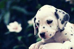 Dalamatian Pup