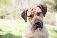 © RDP PhoDOGraphy  | Cricket is a young a adoptable Mastiff  available from Great Pyrenees Association of Southern CA https://www.petfinder.com/petdetail/31648372/
