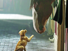 budwiser clysdale horses | Budweiser Clydesdale's steal the Super Bowl