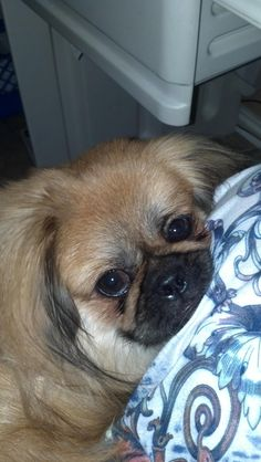 Deanna H. and her Pekingese named Pooh Bear are from San Antonio, TX. Pooh Bear loves peanut butter biscuits.
