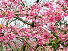 Cherry Blossom Plant | It's National Cherry Blossom Festival Time in Washington D.C.