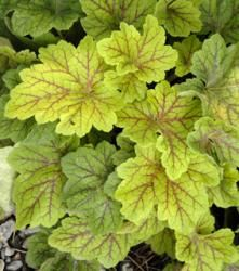 """Heuchera 'Electra'-- 8"""" tall clumps of foliage with small white bells on 12"""" stems in summer.--Zone 4--sun/pt. shade"""