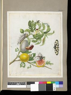 Examples of moth, butterfly and fly, from an album of 91 drawings entitled 'Merian's Drawings of Surinam Insects &c'; on the branch of a guava tree, the life cycle of the fly, and with another caterpillar Watercolour, touched with bodycolour, and with pen and black ink, on vellum. Drawn by: Maria Sibylla Merian. School/styleGerman. Date1701-1705 (circa).