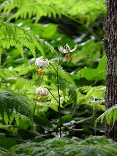 Vit krollilja, ett skönt skogsväsen...