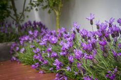 Lavender Lace Collection - A series of early flowering forms of lavender, bearing a range of gorgeous flower heads throughout winter and into early spring. Mixed Border, Border Plants, Early Spring, Cottage Style, Purple Flowers, Lace, Winter, Collection, Garden Ideas