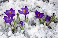 Schneeglockchen Inspiration Pinterest Schneeglockchen Blumen