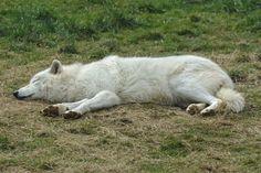 Sleeping Arctic Wolf Stock 20130401-2 by FurLined.deviantart.com on @DeviantArt