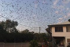 Σκηνές αλά Χίτσκοκ στην Αυστραλία –  20.000 νυχτερίδες εισέβαλαν σε πόλη (video)