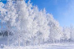Kuurakoivut - Itämeri Kaskinen Pohjanlahti Pohjanmaa Selkämeri helmikuu jäätön koivu koivut kuura kuurainen kuuraiset koivut kylmä lumi luminen maisema meri metsä pakkanen pakkaspäivä puu puut sinitaivas sula talvi valkoinen vesi
