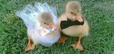 I got two ducklings who are getting married! The Cutest 10 Questions You'll Ever Get To Answer  TAKE THIS QUIZ OR ALL WILL BE LOST!