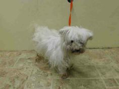 SAFE --- SUPER URGENT 5/22/14  Brooklyn Center   PERLA - A1000723   FEMALE, WHITE, MALTESE MIX, 6 yrs  STRAY - ONHOLDHERE, HOLD FOR ID Reason STRAY   Intake condition NONE Intake Date 05/22/2014, From NY 11207, DueOut Date 05/25/2014 https://www.facebook.com/Urgentdeathrowdogs/photos_stream