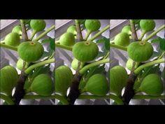 ุ์มะเดื่อฝรั่ง หรือฟิกส์ Ficus carica