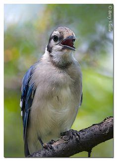 Blue Jay   Flickr - Photo Sharing!