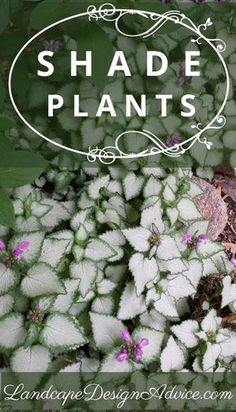 Beautiful perennials can be showy in the shade. Shown here is Lamium 'Pink Pewter'. It's light, variegated leaves brighten up any shady area while its pink flowers add color for awhile. Find out about more great shade perennials and plants.