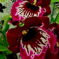 Pansy Orchid: Such a pretty face! #Pansy_Orchid