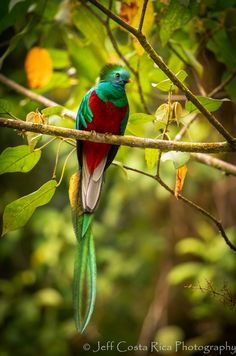 Resplendent Quetzal 3 by Jeffrey Muñoz on Most Beautiful Birds, Animals Beautiful, Cute Animals, Beautiful Flowers, Kinds Of Birds, Love Birds, Tropical Forest, Animal Alphabet, Nature Images