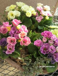 Primula juliae hybrid.(like a rose)