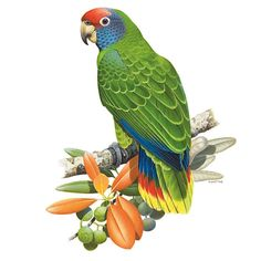 Wildlife Paintings, Animal Paintings, Macaw Parrot For Sale, Amazon Birds, Vintage Bird Illustration, Scratchboard Art, Common Birds, Folk Art Flowers, Most Beautiful Birds