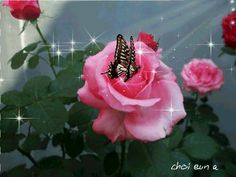 Pink Roses and Butterfly Animation