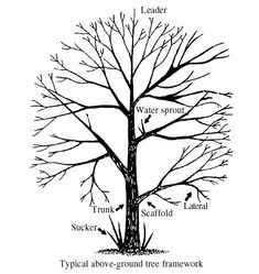 Anatomy of a Deciduous Tree.   Susan C. French, Extension Technician and Bonnie Lee Appleton, Extension Horticulturist, Virginia Tech