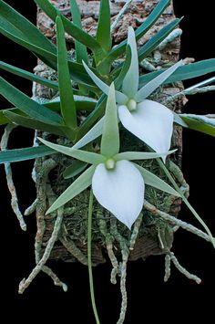 Shade Garden Flowers And Decor Ideas Angraecum Elephantinum Strange Flowers, Unusual Flowers, Unusual Plants, Rare Flowers, Exotic Plants, Cool Plants, Amazing Flowers, Orquideas Cymbidium, Rare Orchids