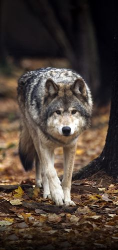 Animals Amazing, Cute Animals, Husky, Wolf, Wildlife, Creatures, Pure Products, Pets, Image