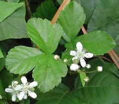 "Rubus hispida Dewberry  Deciduous Shrub : Ht. 6-12""         W 6-12""    Requires well drained, average to moist soil. Part shade to shade. Deeply cut, fern-like foliage. Beautiful white flowers and edible berries. Blooms in early spring. An Excellent ground cover."