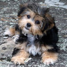 Dogs And Puppies Hypoallergenic Animals - Dogs and puppies hypoallergenic _ hunde und welpen hypoallergen _ chiens e - Cute Dogs And Puppies, Baby Dogs, Pet Dogs, Dog Cat, Small Puppies, Cutest Dogs, Bichon Havanais, Havanese Puppies, Pets