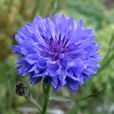blue cornflower--I also love them when they're closed...