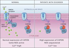 CAPON Binds Nitric Oxide Synthase, Regulating NMDA Receptor–Mediated Glutamate…