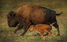 A bison and her calf run to catch up with the herd in Yellowstone Natinal Park.