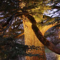 Die Atlas-Zeder hat wohl den markantesten Wuchs aller in Mitteleuropa winterharten Bäume. Sie stammt ursprünglich aus Berggebieten Nordafrikas, wo noch kleine Restbestände natürlich vorkommen. Als Zierbaum findet man sie im südlichen Europa häufig, wenn auch nur in eher größeren Gärten und Parks. Sie erreicht eine Höhe von 40 Metern und ein Lebensalter von bis zu 1000 Jahren. ⠀ ⠀ Generell ist der Baum wärmeliebend und verträgt Hitze sehr gut, weswegen seine Verbreitung als Zierpflanze mit… Parks, News, Instagram, Ornamental Plants, Tree Structure, Parkas
