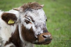 Cow by Tony Cook Photography, via Flickr