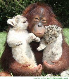 Cute White Tigers | orangutan monkey holding white bengel tiger cubs cute animals wild ...