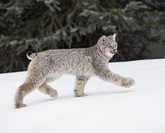 """2,015 Likes, 77 Comments - Colleen Gara (@colleengaraphoto) on Instagram: """"A lynx kitten on the move in the Canadian Rockies 