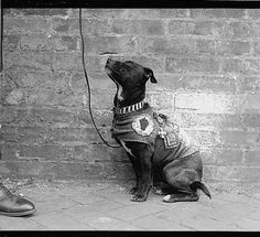 This decorated little guy is listed as a WWI mascot with the Library of Congress. War dogs were on the front lines during the heat of battle and were used to relay messages as well as bring comfort to their human troops. Taken in 1918, we can only guess what his story was or what he meant to the man who fashioned him with a little jacket.