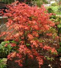 carpinus betulus 39 pendula 39 bomen pinterest. Black Bedroom Furniture Sets. Home Design Ideas