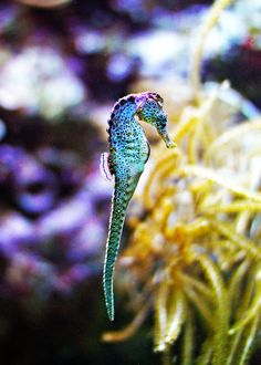 https://flic.kr/p/8YMGKm | Seahorse | Shot at the Shedd Aquarium in Chicago.