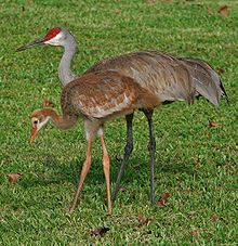 Sandhill cranes. I get to see these amazing animals walking around the building where I work. It never gets old!