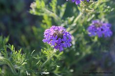 Prairie Verbena – Glandularia bipinnatifida var. bipinnatifida -50 seeds, Dakota Vervain, Moradilla, Attracts butterflies, Drought tolerant on Etsy, $2.95