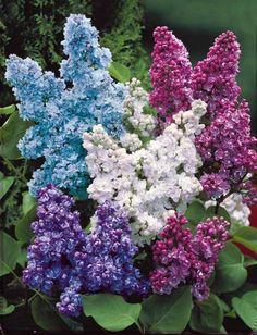 Photo Lilas double lilas                                                                                                                                                     Plus