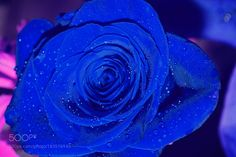 rose    blue    S by MiguelPereaC #nature #mothernature #travel #traveling #vacation #visiting #trip #holiday #tourism #tourist #photooftheday #amazing #picoftheday