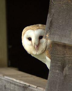 {barn owl peek-a-boo!}